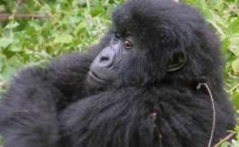 uganda bebe gorila cabecera