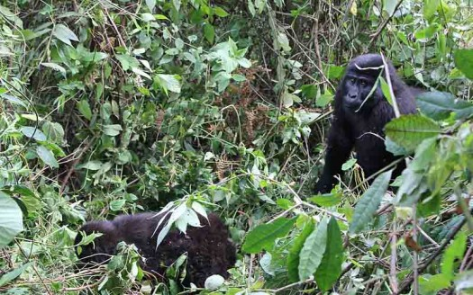 Gorilas en Parque Nacional de Bwindi, Uganda - Laika ac from USA | namasteviajes.com